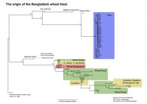 Bangladesh_WheatBlastOutbreak_RAxMLphylogeny_DanielCroll_25April2016